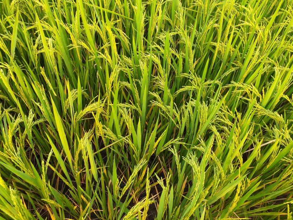 Rice was first domesticated in Asia